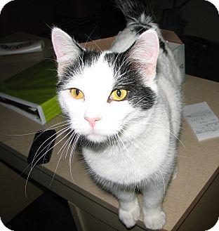 Domestic Shorthair Cat for adoption in Fairbury, Nebraska - Stewie