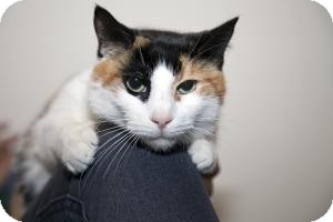 Domestic Shorthair Cat for adoption in Brooklyn, New York - AMY