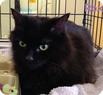 Domestic Shorthair Kitten for adoption in Merrifield, Virginia - Roxanne