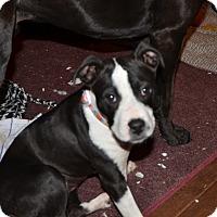 Adopt A Pet :: Tippy - Bedminster, NJ