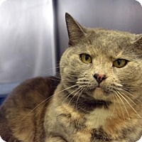 Domestic Shorthair Cat for adoption in Versailles, Kentucky - Sabrina