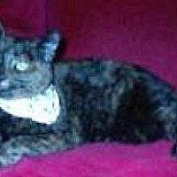 Domestic Shorthair Cat for adoption in Miami, Florida - Amy