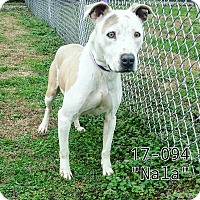 American Pit Bull Terrier Mix Dog for adoption in Cannelton, Indiana - Nala