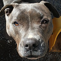American Pit Bull Terrier Mix Dog for adoption in Palmdale, California - Morgan