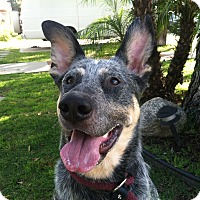 Adopt A Pet :: Shammy *The Goofy Pup* - Canoga Park, CA
