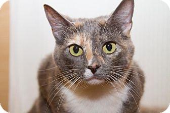 Domestic Shorthair Cat for adoption in Irvine, California - Belle