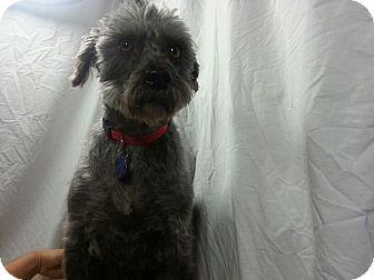 Affenpinscher/Schnauzer (Standard) Mix Dog for adoption in Ogden, Utah - Lady