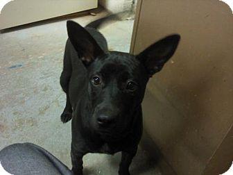 Labrador Retriever/Shiba Inu Mix Dog for adoption in Bluff city, Tennessee - RUBY
