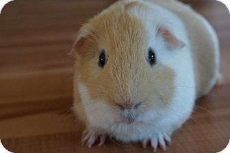 Guinea Pig for adoption in Brooklyn Park, Minnesota - Howie