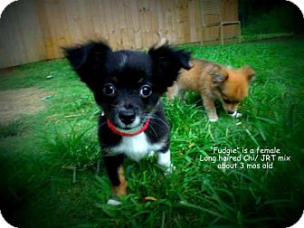 Chihuahua/Jack Russell Terrier Mix Puppy for adoption in Gadsden, Alabama - Fudgie