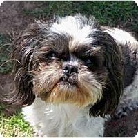 Adopt A Pet :: Tulip - San Angelo, TX