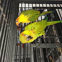 Conure for adoption in Punta Gorda, Florida - Cosy