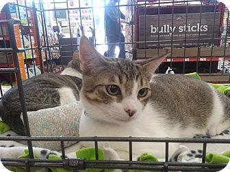 Domestic Shorthair Kitten for adoption in Alamo, California - Merlin
