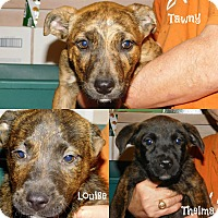 Adopt A Pet :: Mt. Cur/Lab Mix Puppies - Glastonbury, CT