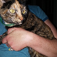 Calico Cat for adoption in Albemarle, North Carolina - Abigail Fillmore