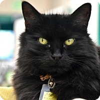 Domestic Longhair Cat for adoption in Lakewood, Colorado - Magic
