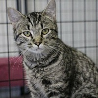 Adopt A Pet :: Steven - Saint Robert, MO