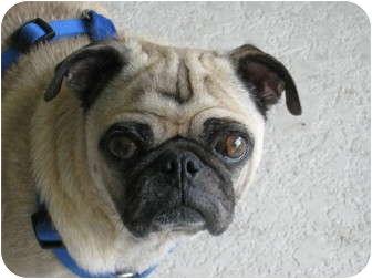 Pug Dog for adoption in Windermere, Florida - Dino