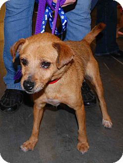 Terrier (Unknown Type, Small) Mix Dog for adoption in Loudonville, New York - Ginger #2