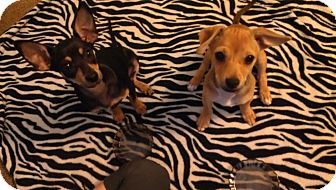 Chihuahua Mix Puppy for adoption in Yuba City, California - Bella and Moose