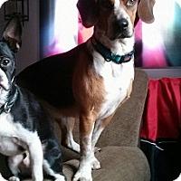 Adopt A Pet :: Coby - Hamilton, ON