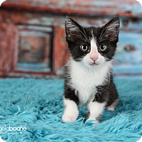 Adopt A Pet :: Amethyst - Plymouth, MN