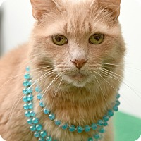 Domestic Shorthair Cat for adoption in Chattanooga, Tennessee - Candy