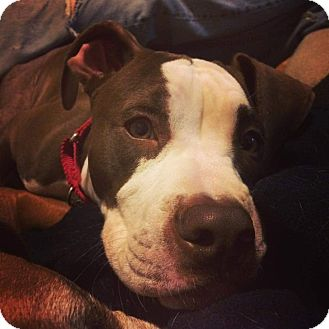 Hound (Unknown Type)/American Staffordshire Terrier Mix Puppy for adoption in Chicago, Illinois - Mudfoot Ronnie Woo Woo