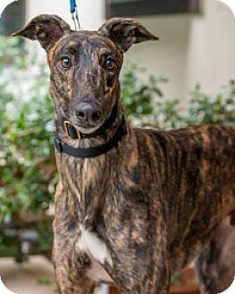 Greyhound Dog for adoption in Walnut Creek, California - Twitch