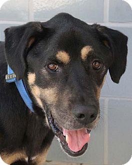 Rottweiler Mix Dog for adoption in San Antonio, Texas - Tucker