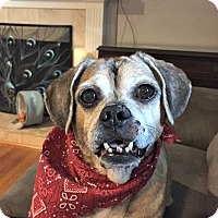 Adopt A Pet :: Darbie is a sweet Puggle! - Redondo Beach, CA