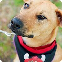 Shepherd (Unknown Type)/Labrador Retriever Mix Dog for adoption in Hayes, Virginia - Chaos