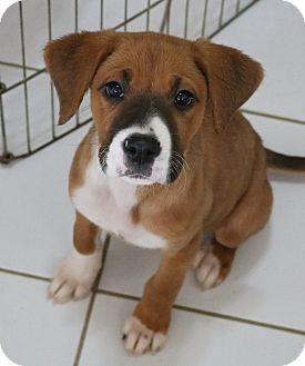Boxer/Labrador Retriever Mix Puppy for adoption in cupertino, California - Q & P need FOSTER HOME now:)