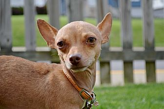 Chihuahua Dog for adoption in Pittsburgh, Pennsylvania - Ashley