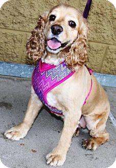 Cocker Spaniel Dog for adoption in Gilbert, Arizona - Lyla