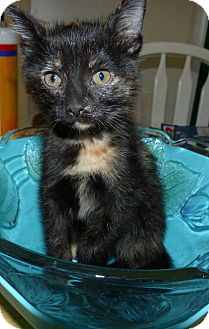 Calico Kitten for adoption in Lighthouse Point, Florida - Coco