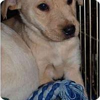 Adopt A Pet :: Puppy 4 - Toronto/Etobicoke/GTA, ON