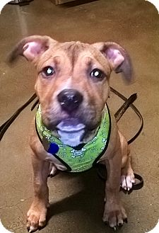 Pit Bull Terrier/Shepherd (Unknown Type) Mix Puppy for adoption in Santa Monica, California - Peaches