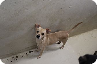 Chihuahua Mix Dog for adoption in Odessa, Texas - A13 AFFLE