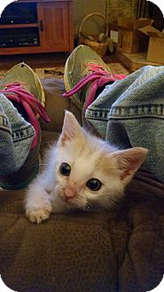 Domestic Shorthair Kitten for adoption in Armuchee, Georgia - Bubba