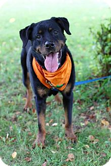 Rottweiler Mix Dog for adoption in Rexford, New York - Dee
