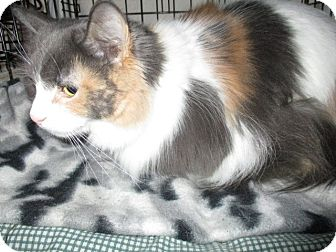 Maine Coon Cat for adoption in detroit, Michigan - LULU