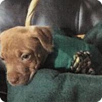 Adopt A Pet :: Piglet - Gloucester, MA