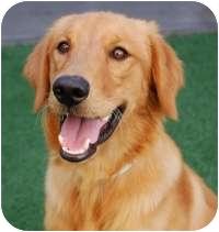 Golden Retriever Mix Dog for adoption in Scottsdale, Arizona - Bingo