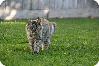 Domestic Longhair Cat for adoption in Modesto, California - Punkin