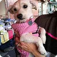 Adopt A Pet :: Abby - North Hollywood, CA