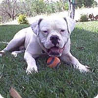 Adopt A Pet :: Mack papered purebred - Sacramento, CA