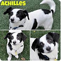 Adopt A Pet :: Achilles needs foster ASAP - Sacramento, CA