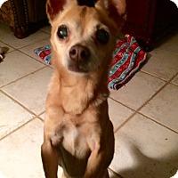 Adopt A Pet :: Ginger - Edmond, OK