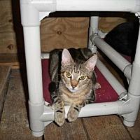 Adopt A Pet :: Chancey - Land O Lakes, FL